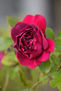 1385209_red_rose_in_september