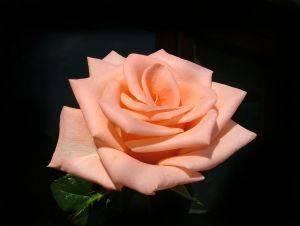 1122061_rose