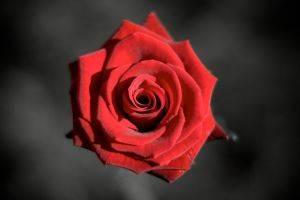 1185641_rose