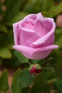 1240862_large_pink_rose_