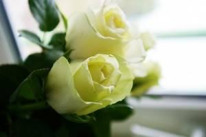 1366659_white_roses