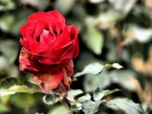 1372498_red_rose