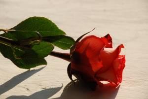 1382102_rose