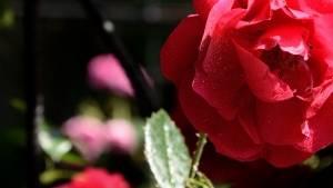 1394861_red_rose